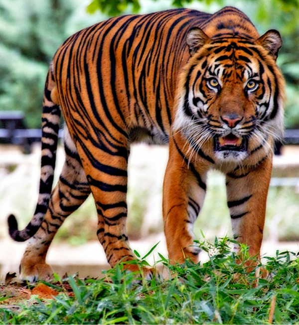 Like Sakai, this tiger is alive, staring directly at you, and ready to spring